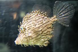 Þjalafiskar (Filefish)