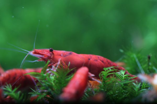 Red Fire Shrimp M
