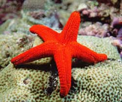 Red Starfish M