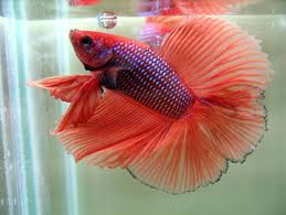 Full Moon Double Tail Fighting Fish L - male