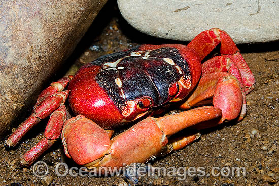 Red Crab M