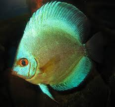 German Blue Discus 4""