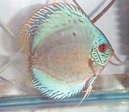 German Blue Discus 2,5""