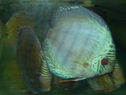 German Blue Discus 3""