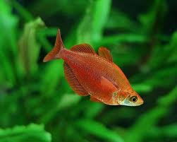 Red Rainbowfish M