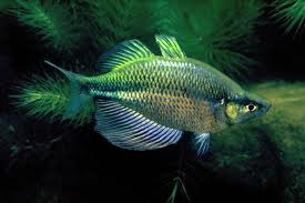 Emerald Rainbowfish ML