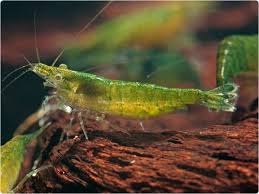 Green Jade Shrimp M