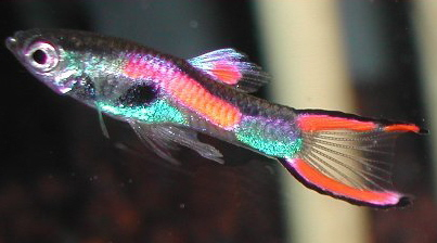Endler Guppy ML