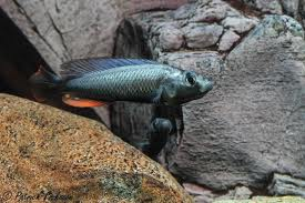 Thereuterion Cichlid M