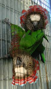 Hawk-headed Parrot Pair (Hringur og Hringla)