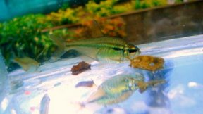 Lime-Green Line Tetra M