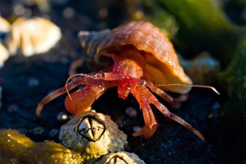 Hermit Crab - Orange Leg M