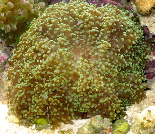 Honey Hard Coral L