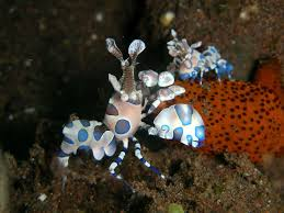 Harlequin Shrimp Pair M