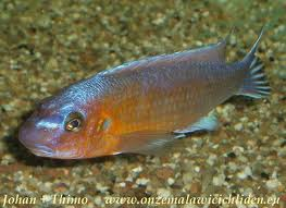 "Labeotropheus trewavasae ""Chilumba"" ML"