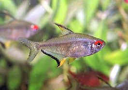 Lemon Tetra ML