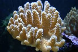 Finger Coral - White Polyp M
