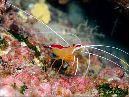 Cleaner Shrimp M