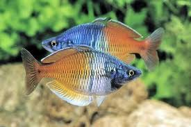 Boeseman's Rainbowfish ML