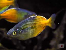 Boeseman's Rainbowfish S