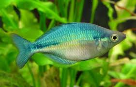 Blue Rainbowfish ML