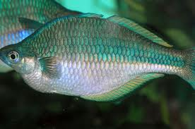 Blue Rainbowfish S