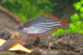 Dwarf Rainbowfish M