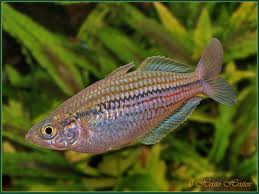 Papuan Rainbowfish M