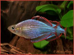 Neon Dwarf Rainbowfish ML