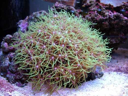 Star Polyp - Xenia Metallic Green M
