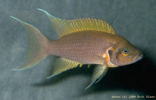 Neolamprologus pulcher M