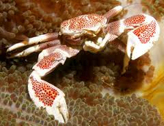 Anemone Crab - Spotted L