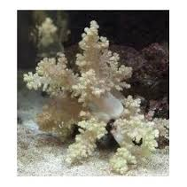Bush Coral - Golden M