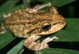 Cuban Tree Frog M