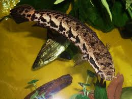African Snakehead SM