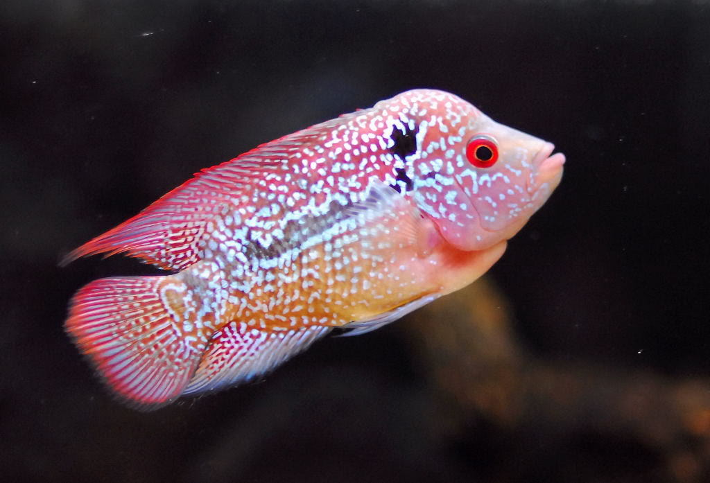 All information about Baby Flowerhorn Food - #catfactsblog