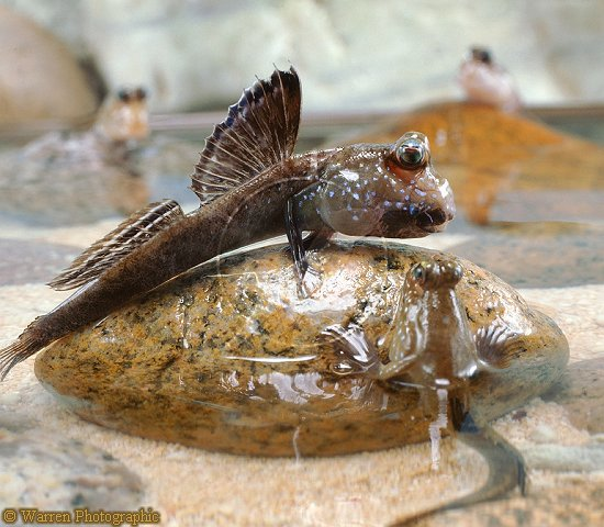 African Mudskipper ML