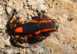 Red-banded Rubber Frog ML