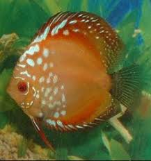 Pigeon Blood Discus 3""