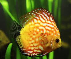 Pigeon Blood Discus 4""