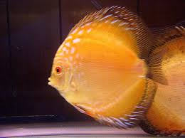 Pigeon Blood Discus 2""