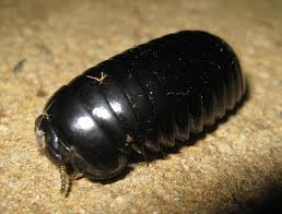 Giant Pill Millipede L