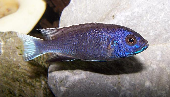 Acei Cichlid sp. White Tail S