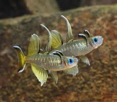 Pacific Blue-eye Rainbowfish M