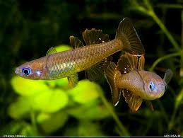 Delicate Blue-eye Rainbowfish M