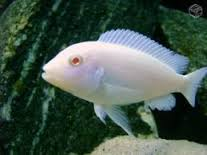Albino Powder Blue Mbuna M