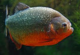 Red-bellied Piranha ML