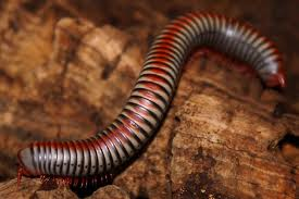 Rainbow Millipede L