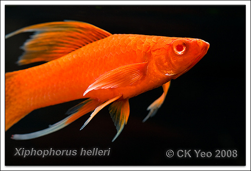 Red-eyed Red Swordtail XL