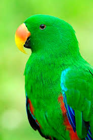 Red-sided Eclectus (Túkó) - SELDUR!